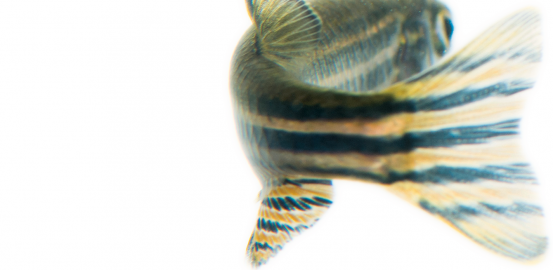 The zebrafish — danio rerio