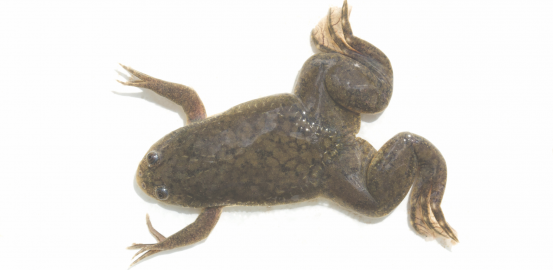 «Xenopus laevis»: the frog who laid the golden egg